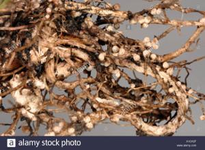 Simbiosi nelle leguminose