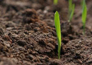 Pianta di mais che esce dal suolo