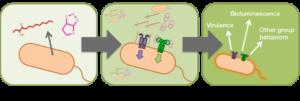 Il quorum sensing è un meccanismo indiretto dei batteri che promuovono la crescita