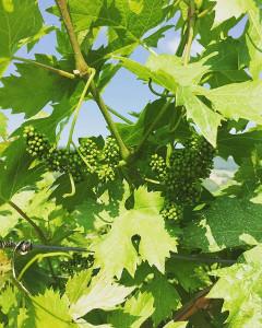 Vigna in allegagione: un buon vino per la pasta fredda si ottiene anche in Valpolicella!
