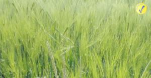 Il silomais in razionepuò essere ridotto usando altri prodotti autunno-vernini